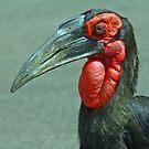 ground hornbill by Anthony Goldman