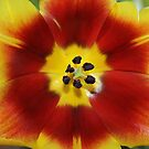 Tulip closeup photo by Henk van Kampen