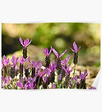 French Lavender Poster