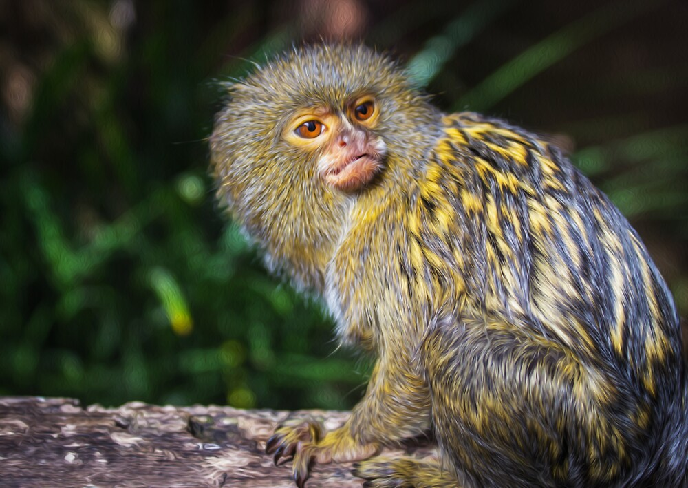 Pygmy Marmoset by Peter Gray