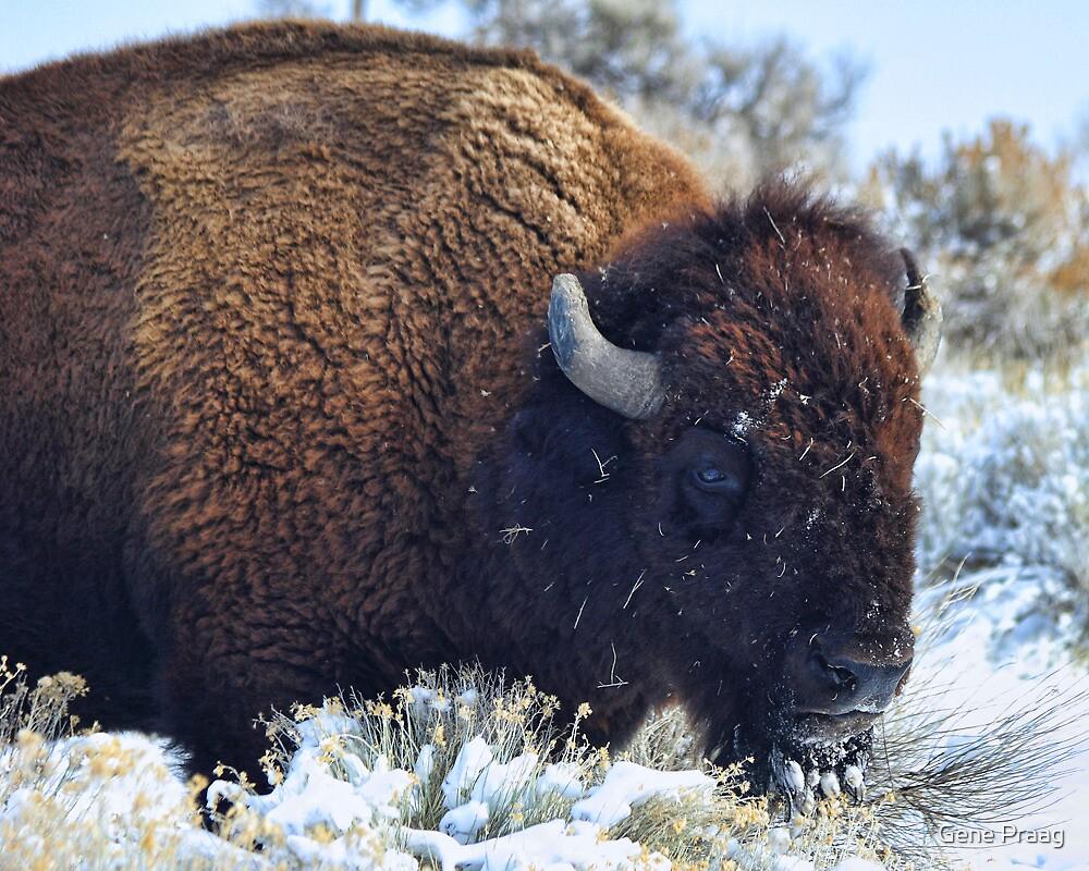 Winter Buffalo by Gene Praag