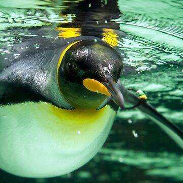 King Penguin by RayW