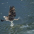 Osprey Comes Up Empty by DARRIN ALDRIDGE
