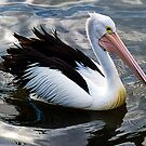 Pelican, Port Hacking, Sydney, NSW, Australia. by ronsphotos