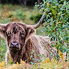 Highland Cattle by JEZ22