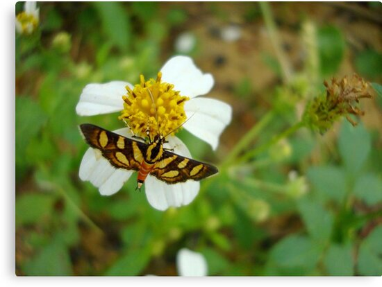 Syngamia florella:  A  DAY FLYING MICROMOTH by May Lattanzio