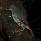 Ptilonorhynchus violaceus (Satin Bower Bird) by Russell Mawson