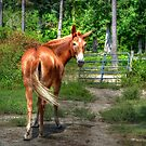 The Mule by Kathy Baccari