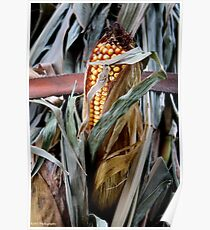 Cornstalks in the Country Poster