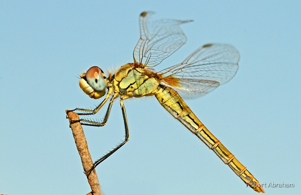 Female Red-Veined Darter by Robert Abraham