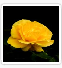 Golden Yellow Rose Isolated on Black Background Sticker