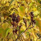 Fall Lilacs by Jess Meacham