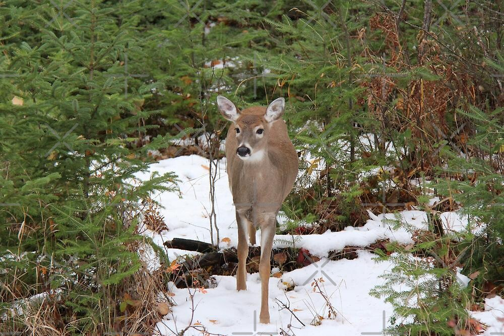 Young Whitetail Doe by Vickie Emms