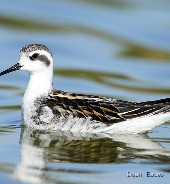Red necked Phalarope  by Dean   Eades