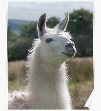 Loki the llama Poster