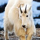 Mountain Goat by George Kashouh
