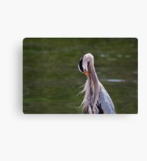 Great Blue Heron with an itch. Canvas Print