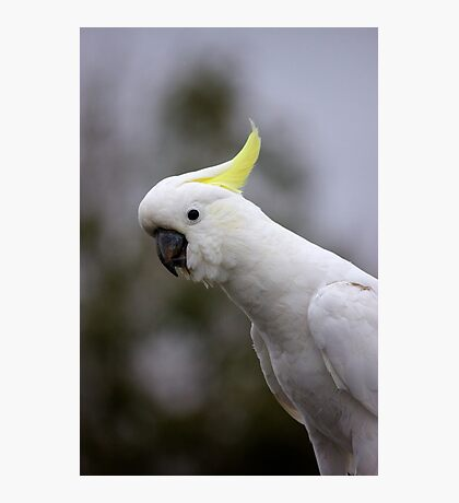 Who's a pretty boy Sulphur Crested Cockatoo Photographic Print