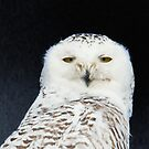 Snowy Owl - Head and shoulders by michelsoucy