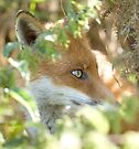 Hidden fox by Anthony Brewer