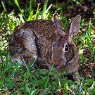 Nibbles (Marsh Rabbit) by Kathy Baccari