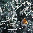 Lil' Robin (Cropped) by AndrewBerry