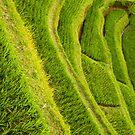 Rice Fields by liza1880