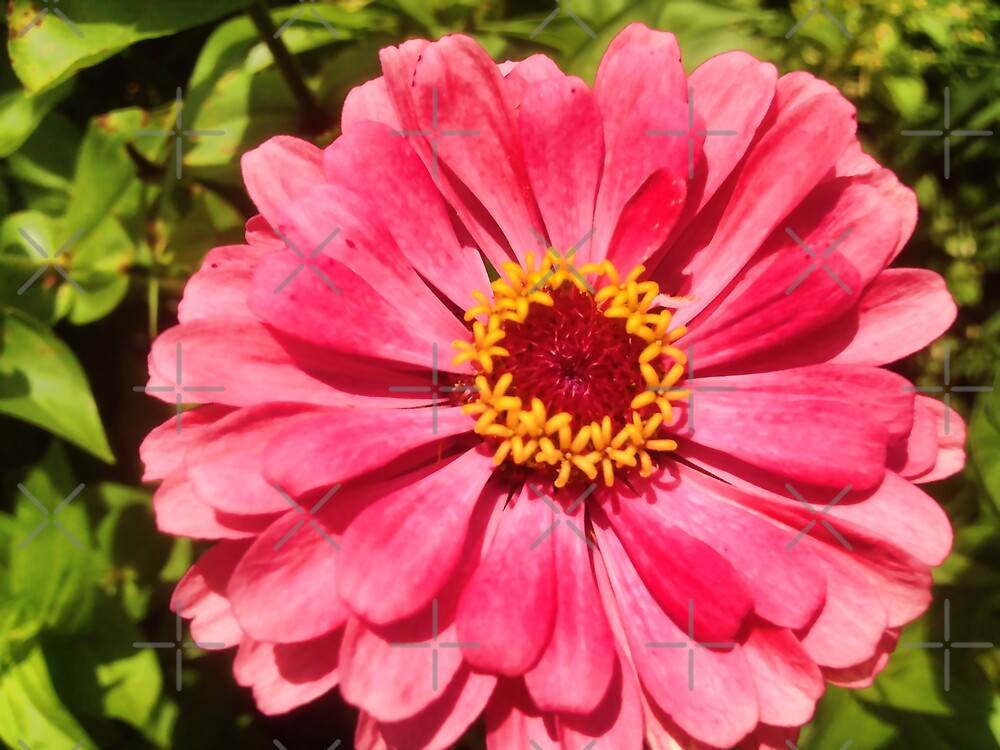 "Pink Zinnia by Christine ""Xine"" Segalas"