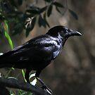 Mr Crow by byronbackyard