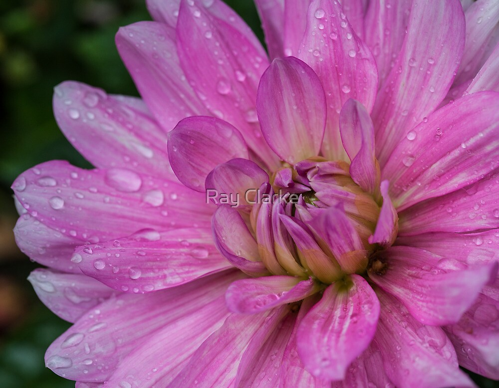 Late Bloom by Ray Clarke