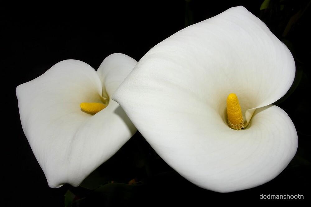 classic calla lilies by dedmanshootn