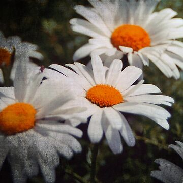 Dirty Daisies by tcausley