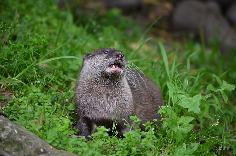 Asian Small Clawed Otter by Bami