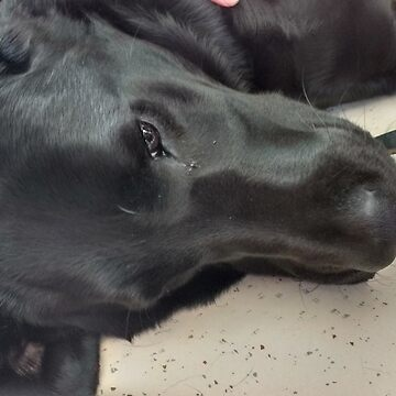 Adorable Black Labrador Pup by darkesknight