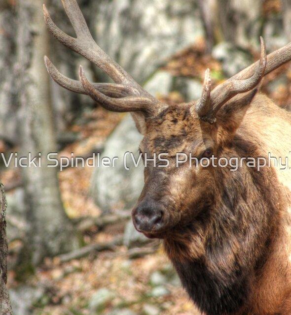 Elk by Vicki Spindler (VHS Photography)