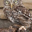 Little Owl by fg-ottico
