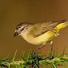 Yellow-rumped Thornbill  3# by DIZZYHEIGHTS