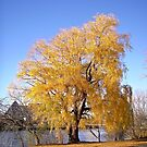 Willow Tree by Shulie1