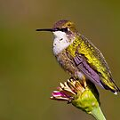 Ruby Throated Hummingbird by John Absher