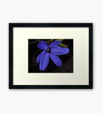 wild blue Laxmanniaceae Framed Print