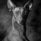 Pharaoh Hound by Mark Cooper