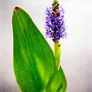 PICKEREL, BLUE (Pontederia cordata) by Charles Dobbs Photography
