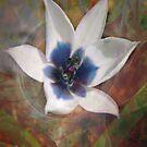 Tulipa Pulchella oculo-careula by Dale Lockridge