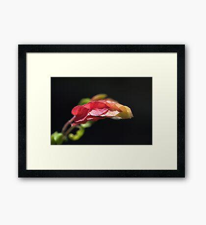 Shrimp Plant Framed Print