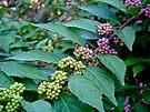 American Beautyberry Shrub - Callicarpa americana by MotherNature