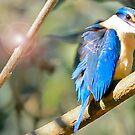 Kingfisher - Macquarie Pass  by Ryan Conyers