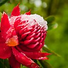Snow-topped Waratah by Dilshara Hill