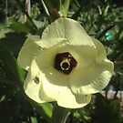 """Giant Yellow Hibiscus 'Old Yella' by Christine """"Xine"""" Segalas"""