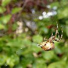 Cross Back Garden Spider by Jess Meacham