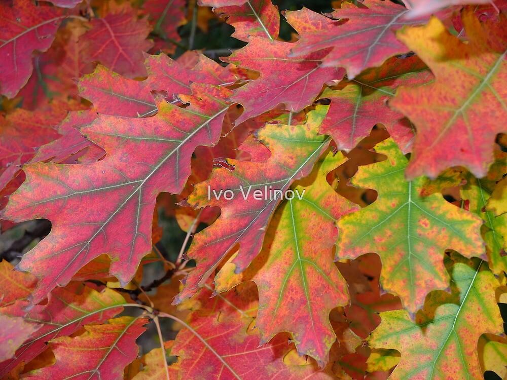 Beautiful autumn leaves by Ivo Velinov